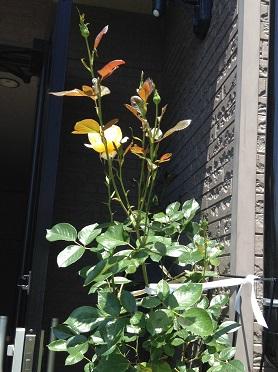 レモン&ジンジャ、咲き始めました^^