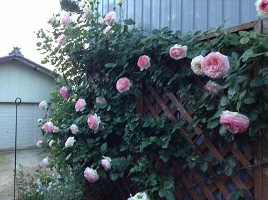 きれいな薔薇のお庭