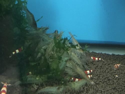 ミナミヌマエビ販売 東海 岐阜 熱帯魚 水草 観葉植物販売 Grow aquarium