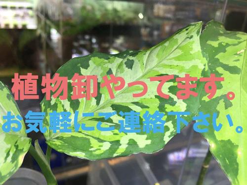 植物卸します。東海 岐阜 熱帯魚 水草 観葉植物販売 Grow aquarium