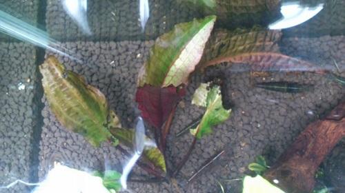 斑入りクリプトコリネ 東海 岐阜 熱帯魚 水草 観葉植物販売 Grow aquarium