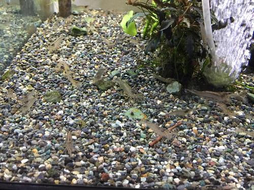ヤマトヌマエビ入荷 東海 岐阜 熱帯魚 水草 観葉植物販売 Grow aquarium