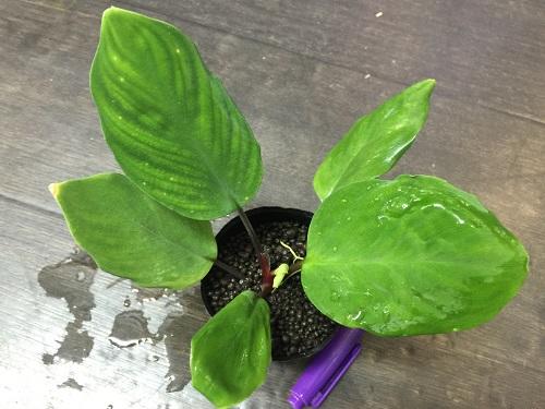 ホマロメナsp.ジェイドベルベット 東海 岐阜 熱帯魚 水草 観葉植物販売 Grow aquarium
