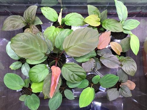 ホマロメナ 東海 岐阜 熱帯魚 水草 観葉植物販売 Grow aquarium