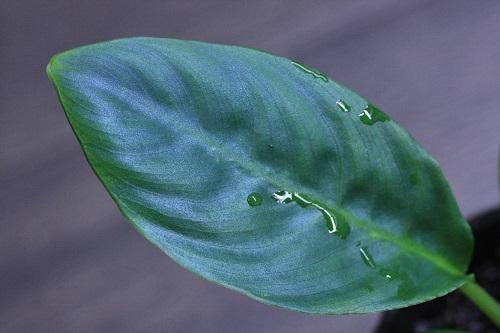 スキスマトグロッティスsp.バウ 東海 岐阜 熱帯魚 水草 観葉植物販売 Grow aquarium