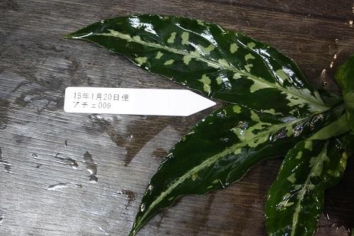 アグラオネマ ピクタム トリカラー アチェ 東海 岐阜 熱帯魚 水草 観葉植物販売 Grow aquarium