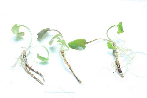 C. matakensis 東海 岐阜 熱帯魚 水草 観葉植物販売 Grow aquarium