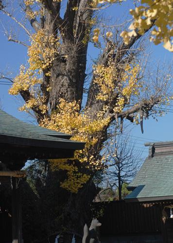 市川市保存樹木『千壽銀杏』