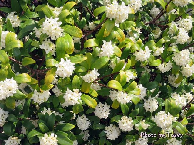 ジンチョウゲ 白花