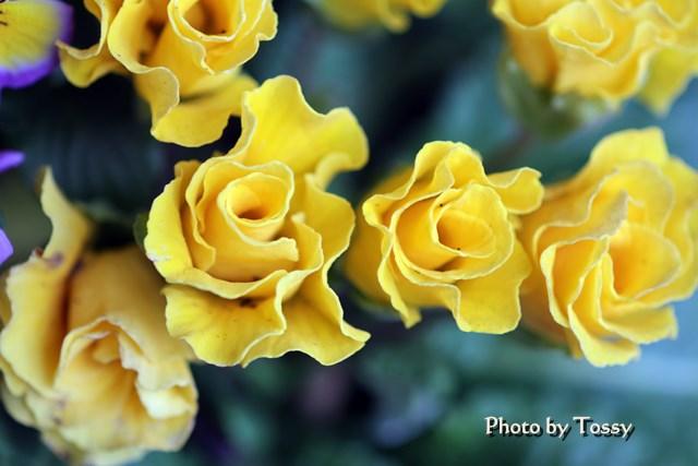 プリムラジュリアン バラ咲き