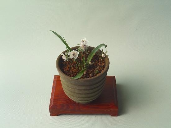 黄花アマナと節分草H27年2月