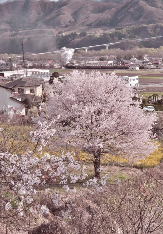 150411sakura-.jpg