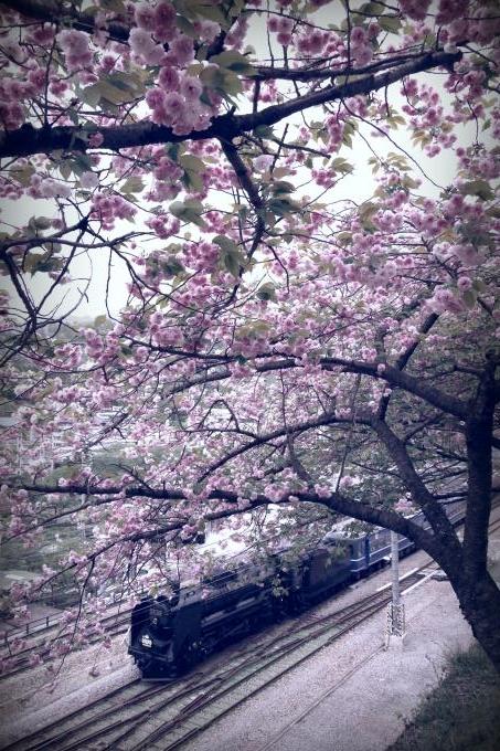 150504yaezakura.jpg