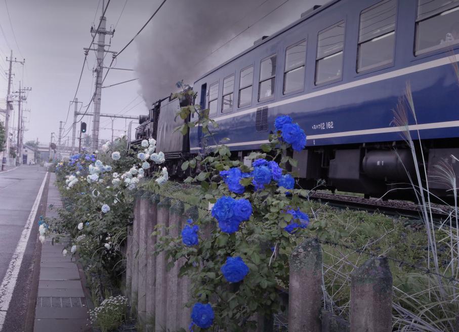 150516blue-rose.jpg