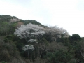 4.山の桜