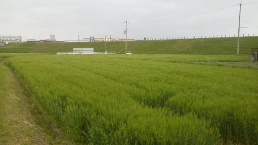 麦とため池