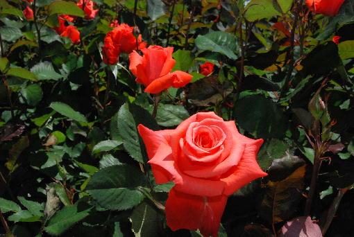 6.赤いバラ