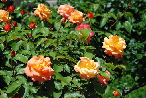 10.アンネのバラ