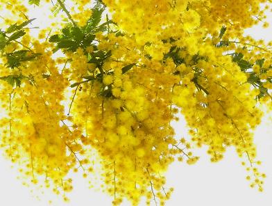 mimoza.png