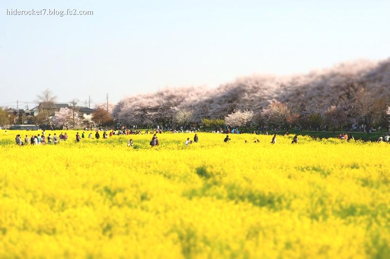 gongendou_2015_sakura_01.jpg