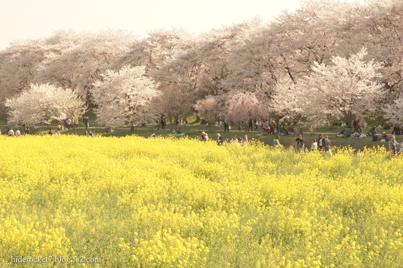 gongendou_2015_sakura_02.jpg