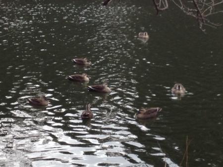 鴨 至近距離 縮小