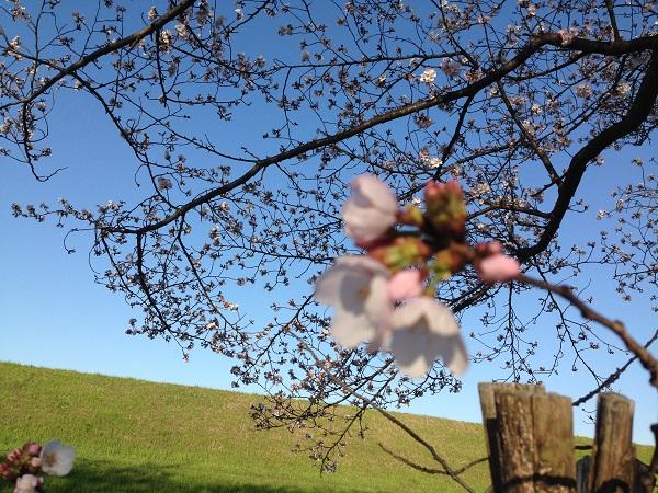 0402新川沿いの桜が見ごろ⑤