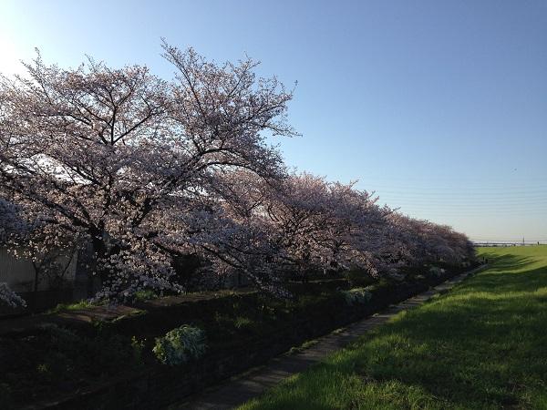 0402新川沿いの桜が見ごろ①