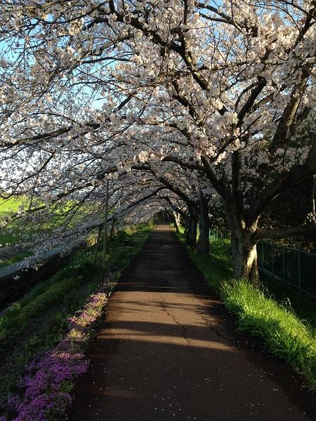 0402新川沿いの桜が見ごろ②