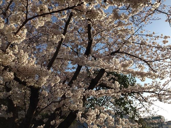 0402新川沿いの桜が見ごろ③