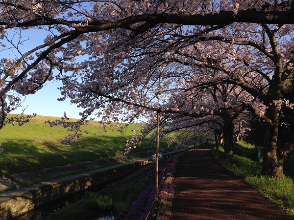 0402新川沿いの桜が見ごろ④