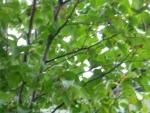 沙羅の木 春