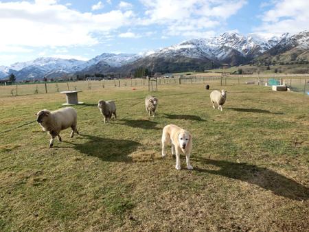 羊の国のラブラドール絵日記シニア!!「エビスの変化」1