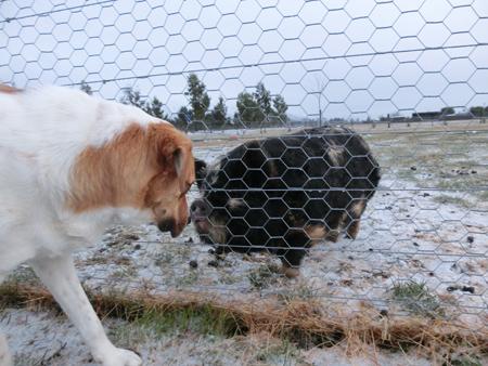 羊の国のラブラドール絵日記シニア!!「チェイスとの出会い」写真2