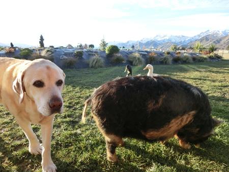 羊の国のラブラドール絵日記シニア!!「大接近」写真9