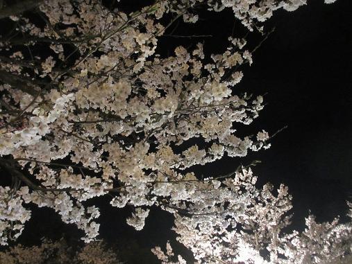 150409sakura2.jpg