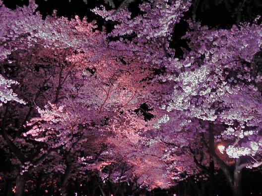 150409sakura3.jpg