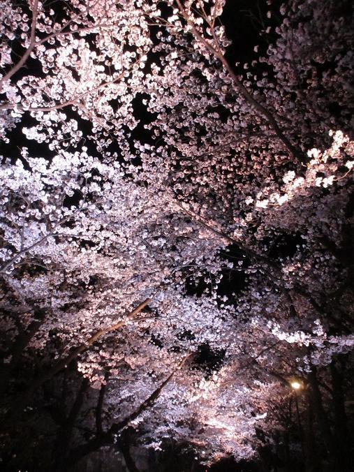 150409sakura4.jpg