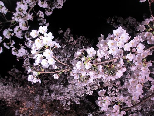 150409sakura5.jpg