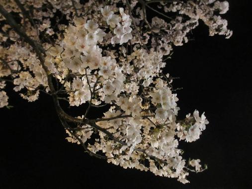 150409sakura61.jpg