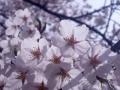 2015お花見2