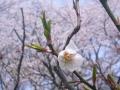 2015お花見4