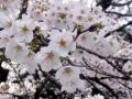 2015お花見7
