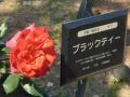 2015薔薇1