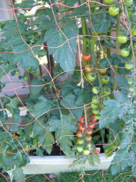 tomato234.jpg