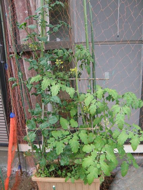 tomato236.jpg