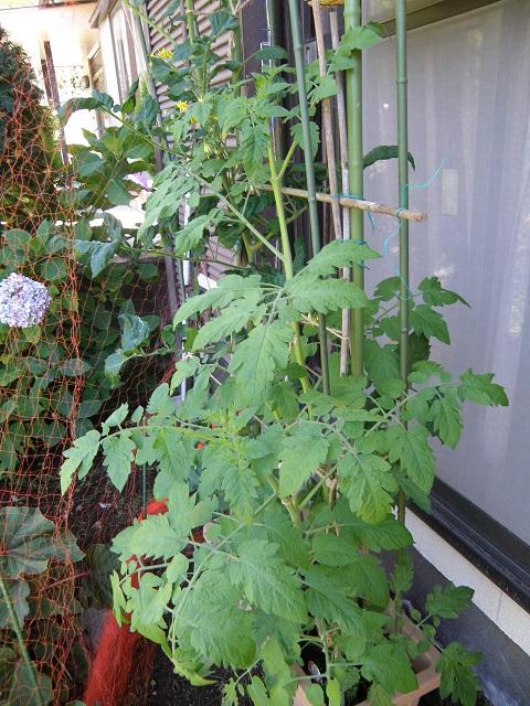 tomato237.jpg