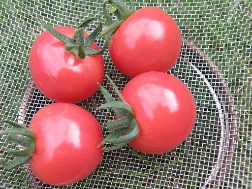 tomato238.jpg