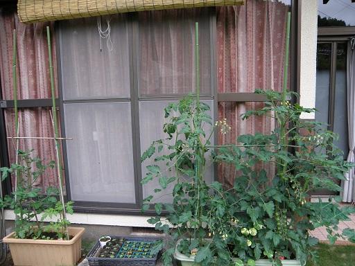 tomato71.jpg