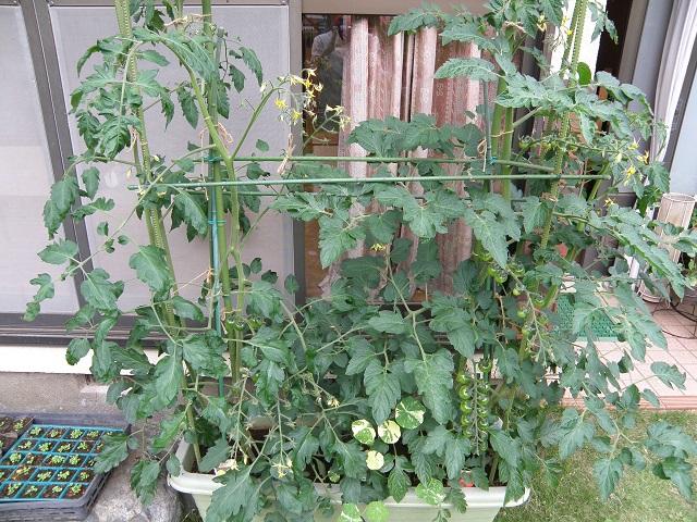 tomato75_201507021540357d1.jpg